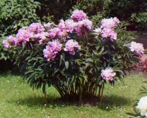 Buy Peony Plants Like This Online